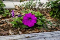 Fiore della petunia Fotografie Stock Libere da Diritti