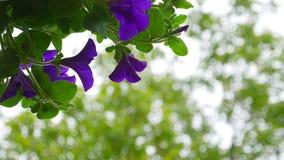 Fiore della petunia su sfondo naturale stock footage
