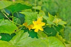 Fiore della pianta del cetriolo Immagini Stock
