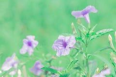Fiore della pianta del cracker (tuberosa di Ruellia) con fondo vago Immagini Stock