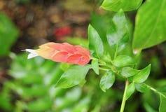 Fiore della pianta del gamberetto e foglie verdi rosa ed arancio Immagine Stock Libera da Diritti