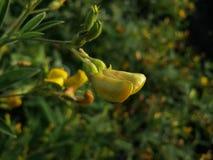 Fiore della pianta del pisello arboreo Fotografie Stock