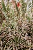 Fiore della pianta dell'aloe Foresta tropicale nelle montagne sull'isola del Madera Fotografia Stock Libera da Diritti