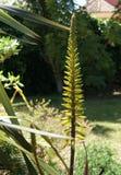 Fiore della pianta della vera dell'aloe Immagini Stock Libere da Diritti
