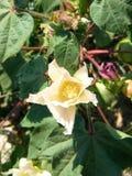 Fiore della pianta di cotone Fotografie Stock