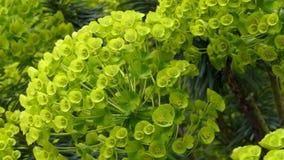 Fiore della pianta di euphorbia characias archivi video