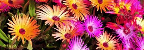 Fiore della pianta di ghiaccio fotografie stock