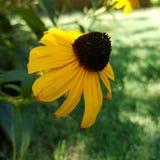 Fiore della pianta di margherita gialla di Rudbeckia Immagini Stock
