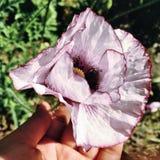 fiore della pianta della natura di struttura del papavero fotografie stock