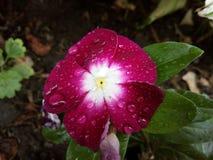 Fiore della pioggia Fotografia Stock Libera da Diritti