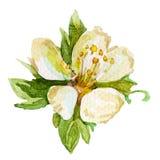 Fiore della pittura dell'acquerello Immagini Stock Libere da Diritti