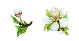 Fiore della pittura dell'acquerello Fotografia Stock