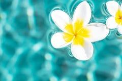 Fiore della plumeria che galleggia nella superficie dell'acqua del turchese Copia-spazio di fluttuazioni dell'acqua Fondo di conc fotografie stock