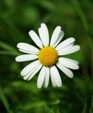 Fiore della pratolina Fotografie Stock