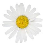 Fiore della pratolina Fotografie Stock Libere da Diritti
