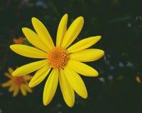 Fiore della pratolina giallo fotografia stock
