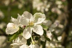 Fiore della primavera agli alberi del aple Immagini Stock
