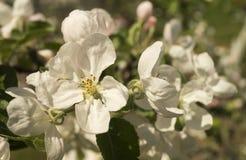 Fiore della primavera agli alberi del aple Fotografie Stock Libere da Diritti