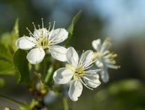 Fiore della primavera alle ciliege in giardino Fotografia Stock Libera da Diritti