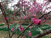 Fiore della primavera in Asia Fotografia Stock Libera da Diritti
