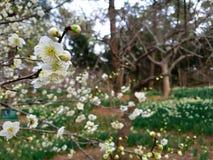 Fiore della primavera in Asia Fotografie Stock Libere da Diritti