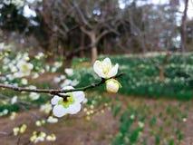 Fiore della primavera in Asia Immagini Stock Libere da Diritti