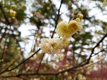Fiore della primavera in Asia Fotografia Stock