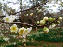 Fiore della primavera in Asia Immagini Stock