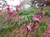 Fiore della primavera in Asia Immagine Stock