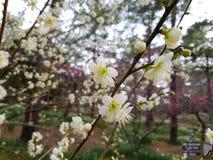 Fiore della primavera in Asia Immagine Stock Libera da Diritti