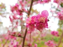 Fiore della primavera in Asia Fotografie Stock