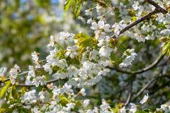 Fiore della primavera dei ciliegi in frutteto, regione Haspengouw della frutta nel Belgio fotografia stock libera da diritti