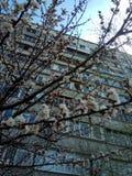 Fiore della primavera dell'albicocca immagine stock libera da diritti