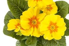 Fiore della primavera della primula gialla vulgaris Fotografia Stock