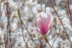 Fiore della primavera di una magnolia Fotografia Stock Libera da Diritti