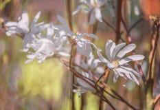 Fiore della primavera di una magnolia Immagine Stock