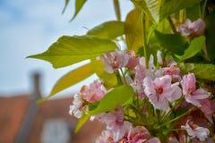 Fiore della primavera, fiori rosa della ciliegia e le vostre foglie sul ciliegio fotografia stock