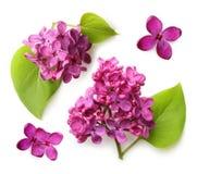 Fiore della primavera, lillà porpora del ramoscello con la foglia Immagini Stock