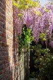 Fiore della primavera della pianta porpora di glicine fotografie stock
