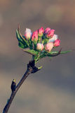 Fiore della primavera: ramo di di melo sbocciante Fotografia Stock Libera da Diritti