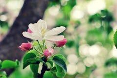 Fiore della primavera: ramo di di melo sbocciante sul fondo del giardino Immagini Stock