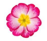 Fiore della primaverina Fotografia Stock