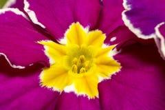 Fiore della primula dell'amaranto vulgaris, fondo della primavera Immagine Stock Libera da Diritti