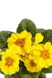 Fiore della primula gialla vulgaris, fondo bianco della primavera Immagini Stock