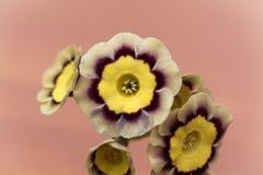 Fiore della primula, hortensis della primula x immagine stock