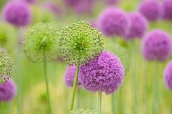 fiore della priorità bassa dell'allium Fotografia Stock Libera da Diritti