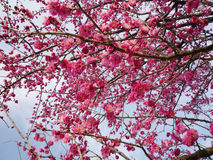 Fiore della prugna Fotografie Stock