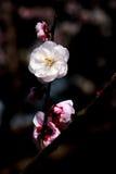 Fiore della prugna immagini stock