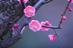 Fiore della prugna Immagine Stock