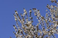 Fiore della prugna Fotografia Stock